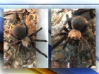 Troops of tarantulas are on the move in Colorado