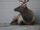 Injured elk refuses to move out of driveway