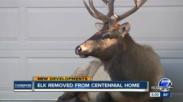 Injured elk refuses to move out of Centennial driveway