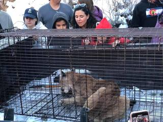 Emaciated mtn. lion put down after dog killing