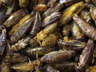 Study: Eating crickets led to better gut health