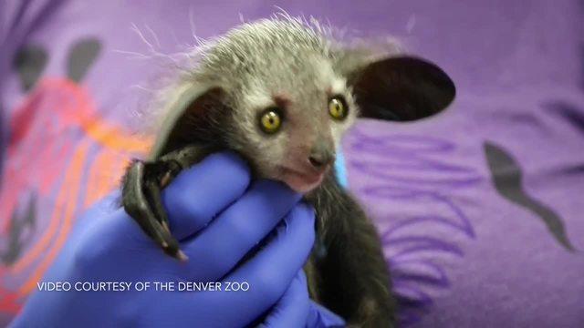 Denver Zoo-s baby aye-aye out in habitat
